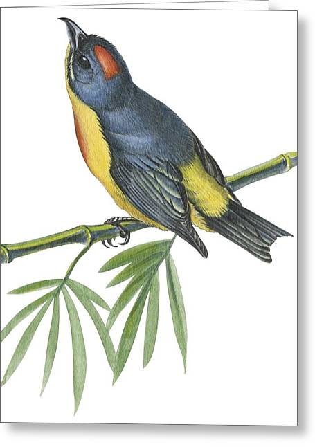 Vertical Drawings Greeting Cards -  Philippine flowerpecker Greeting Card by Anonymous