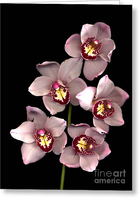Black Greeting Cards -  Pink Orchid  Greeting Card by Jacqui Martin