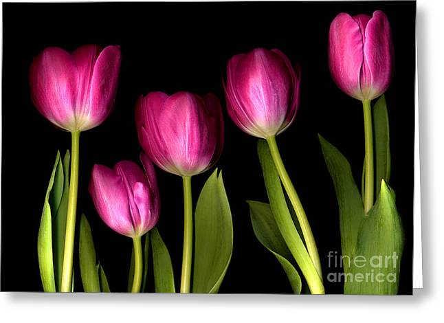 pink tulips Greeting Card by Jacqui Martin