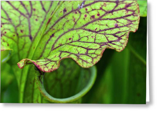 Pitcher Plants Greeting Card by Heiko Koehrer-Wagner