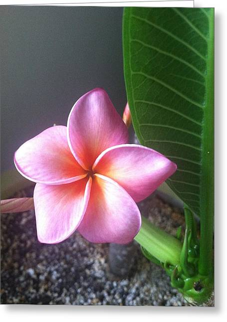Pinks And Purple Petals Greeting Cards -  Plumeria Flower  Greeting Card by Cami Sante