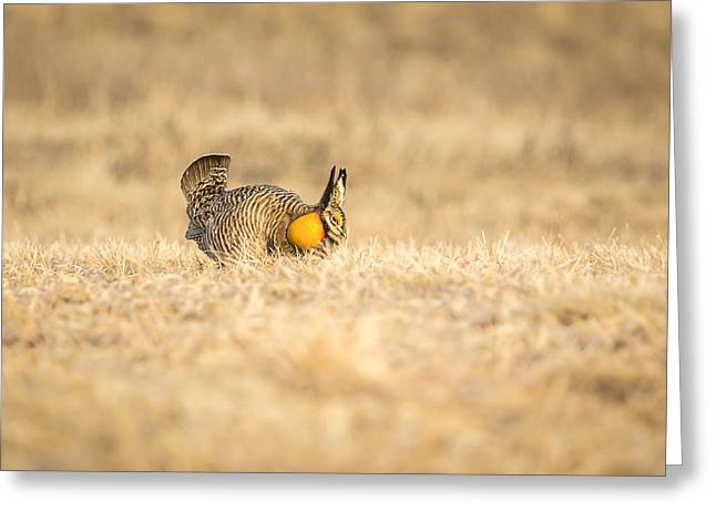 Prairie Chicken 2013-13 Greeting Card by Thomas Young