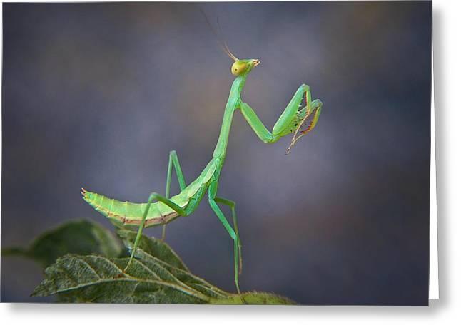 Mantises Greeting Cards -  Preying Mantis Greeting Card by David and Carol Kelly