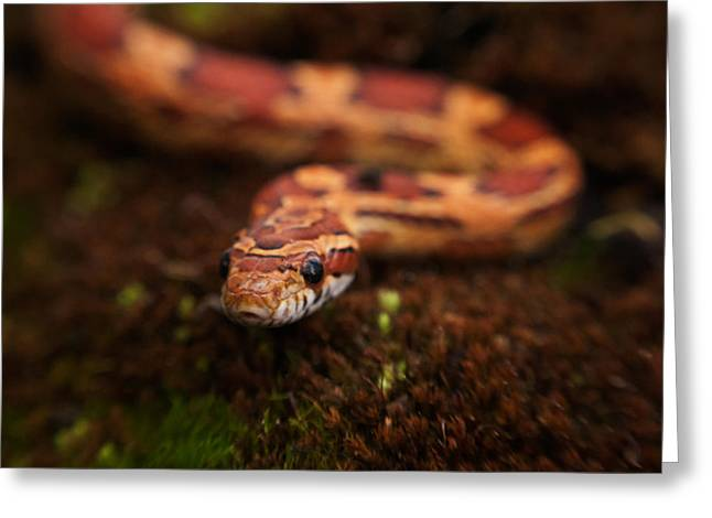 Gift Ideas For Him Greeting Cards -  Red Corn snake Greeting Card by Sammy Miller