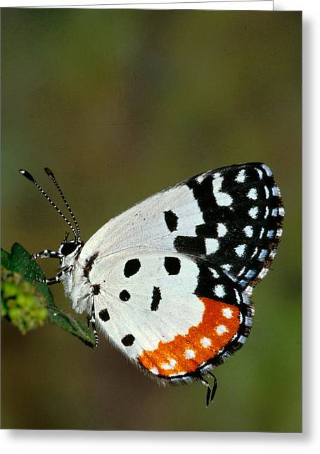 One Photograph Greeting Cards -  Red Pierrot Butterfly Greeting Card by Anonymous