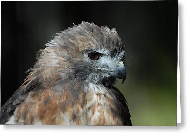 Red Shouldered Hawk 300 Greeting Card by Joyce StJames