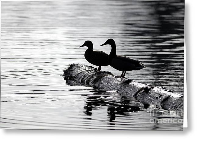 Ripples Of Black And White Greeting Cards -  Silhouetted Ducks Greeting Card by Sharon  Talson