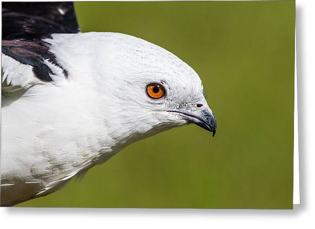 Recently Sold -  - Kite Greeting Cards -  Swallow-tailed Kite Greeting Card by Jeff Donald