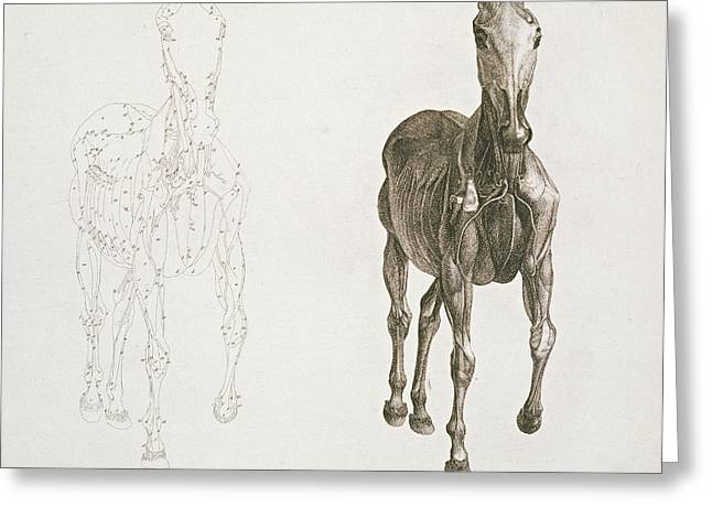 Anatomical Drawings Greeting Cards -  Tab VIII from The Anatomy of the Horse Greeting Card by George Stubbs