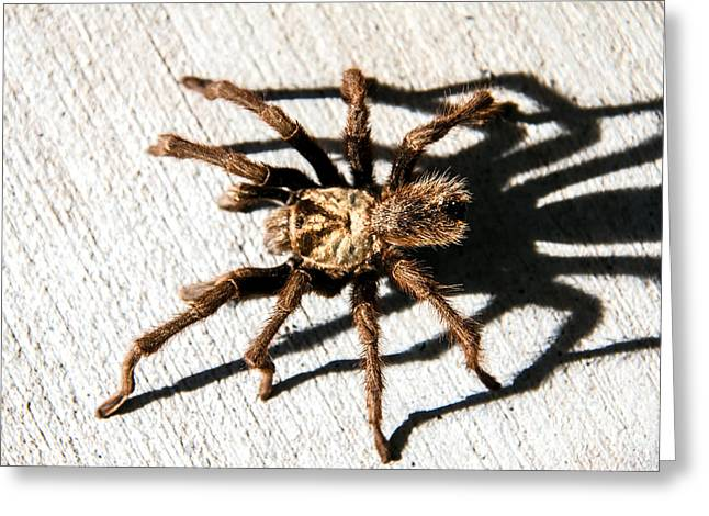 Haybale Greeting Cards -  Tarantula Greeting Card by Robert Bales