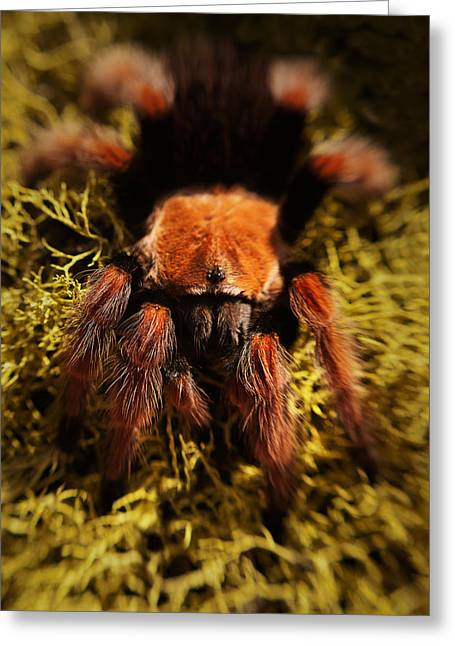 Gift Ideas For Him Greeting Cards -  Tarantula Spider Greeting Card by Sammy Miller