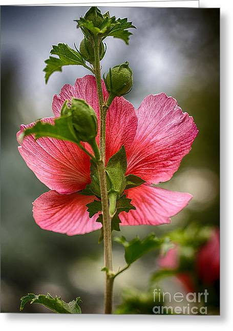 Pink Althea Greeting Cards -  Through Rose of Sharon HDR Greeting Card by Mitch Johanson