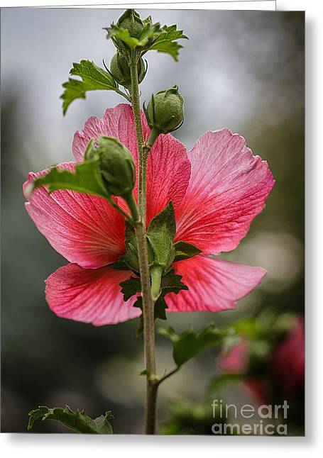 Pink Althea Greeting Cards -  Through Rose of Sharon Greeting Card by Mitch Johanson