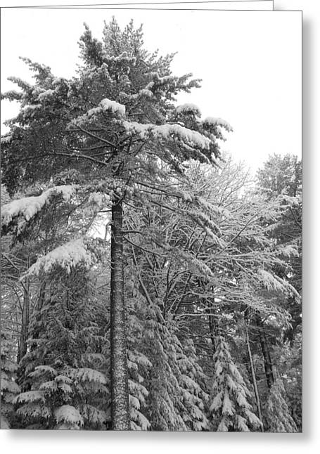 Evergreen With Snow Greeting Cards -  Towering Fir Tree Maine Winter Landscape Number Two  Greeting Card by Patricia Sundik