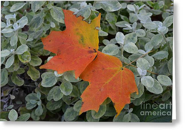 Indiana Autumn Greeting Cards -  Two Fall Leaves in Green Greeting Card by Amy Lucid