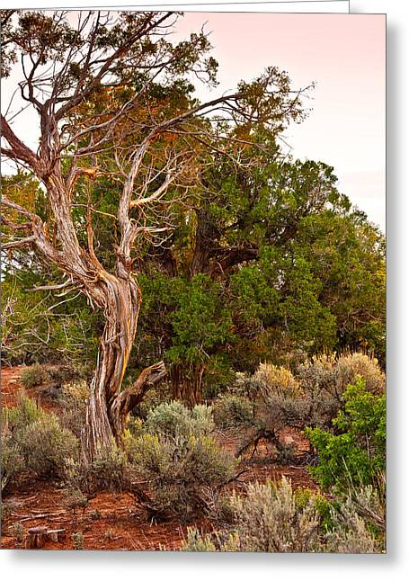 Del Muerto Greeting Cards -  Weathered Tree Sunrise Canyon DeChelly Greeting Card by  Bob and Nadine Johnston