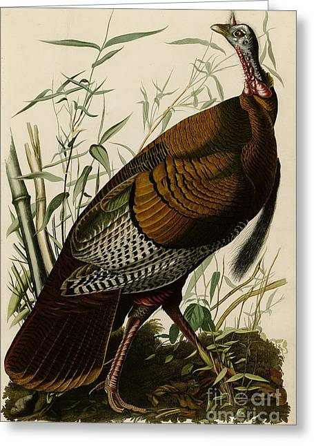 Wild Life Drawings Greeting Cards -  Wild Turkey Greeting Card by Celestial Images