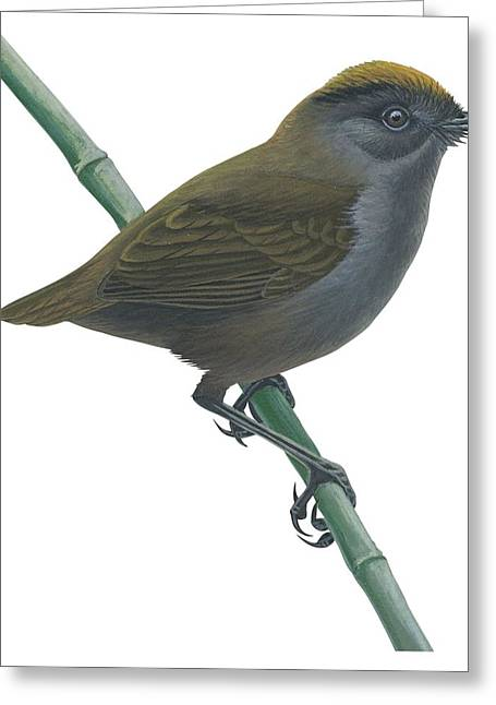 Vertical Drawings Greeting Cards -  Wrenthrush Greeting Card by Anonymous