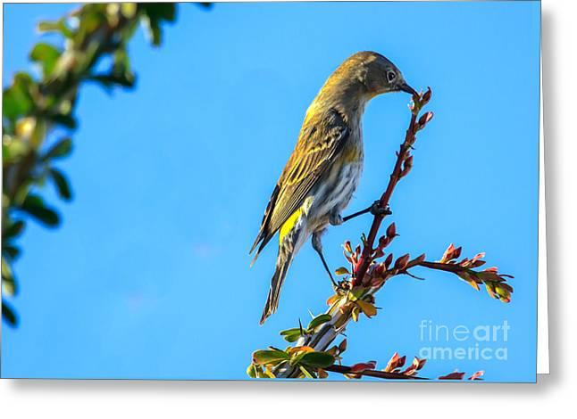Yellow-rumped Warbler Greeting Card by Robert Bales