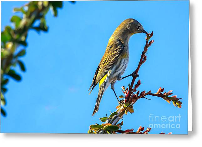 Haybale Greeting Cards -  Yellow-rumped Warbler Greeting Card by Robert Bales