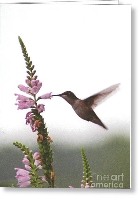 Occasion Greeting Cards - #031 Hummingbird Sipping Nectar from Obedient Puple Flower Greeting Card by Robin Lee Mccarthy Photography