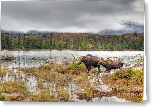 Baxter Park Greeting Cards - 0395 Baxter State Park Moose and Calf Greeting Card by Steve Sturgill