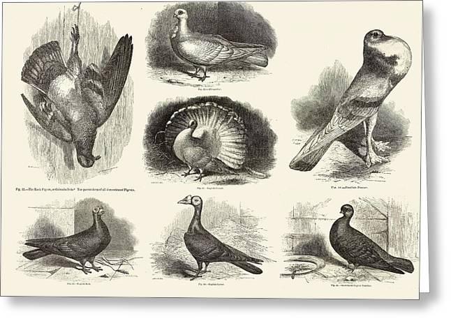 1868 Darwin Pigeon Breeds Illustration Greeting Card by Paul D Stewart