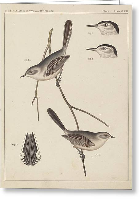 Bravery Drawings Greeting Cards - 19th Century Birds Greeting Card by Celestial Images