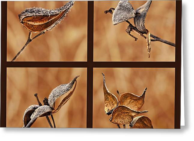 1 - 2 - 3 - 4 - Milkweed Pod Quadriptych Greeting Card by Nikolyn McDonald