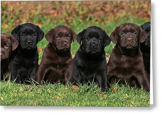 8 Labrador Retriever Puppies Brown And Black Side By Side Greeting Card by Dog Photos