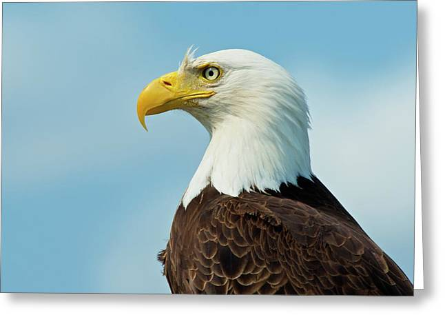 A Bald Eagle Perching On A Dead Tree Greeting Card by Richard Wright
