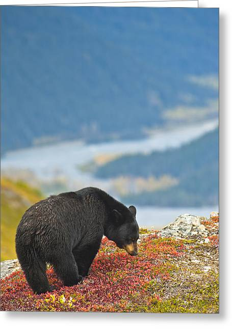 Black Berries Greeting Cards - A Black Bear Foraging For Berries On A Greeting Card by Michael Jones