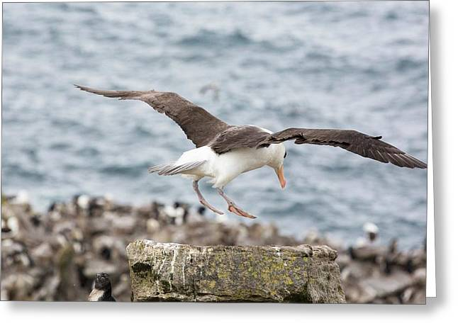 A Black Browed Albatross Greeting Card by Ashley Cooper