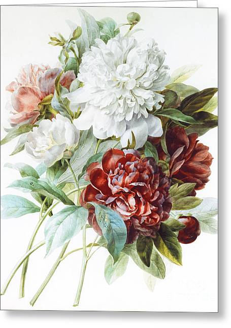 Floral Posters Greeting Cards - A Bouquet of Red Pink and White Peonies Greeting Card by Pierre Joseph Redoute