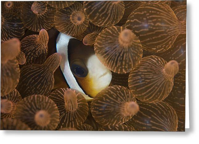A Clarks Anemonefish Nuggles Greeting Card by Ethan Daniels
