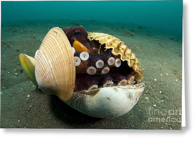 Lembeh Strait Greeting Cards - A Coconut Octopus, Lembeh Strait Greeting Card by Steve Jones