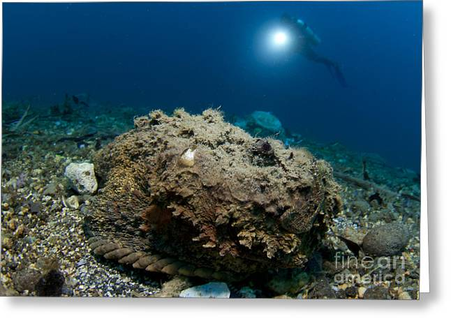 Gorontalo Greeting Cards - A Diver Looks On At A Giant Stonefish Greeting Card by Steve Jones