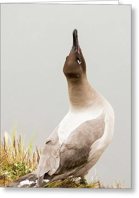 A Light Mantled Albatross Greeting Card by Ashley Cooper