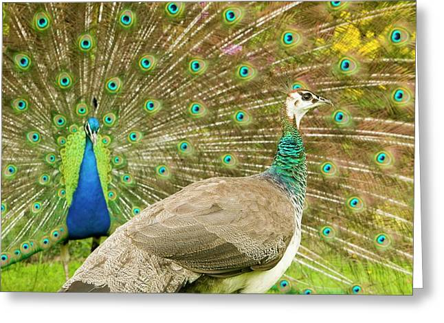 A Male Peacock Displaying To A Female Greeting Card by Ashley Cooper