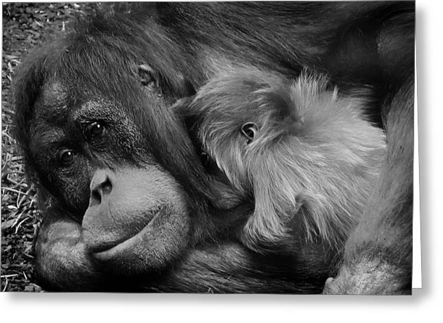 Orangutan Greeting Cards - A Mothers Love Greeting Card by Mountain Dreams
