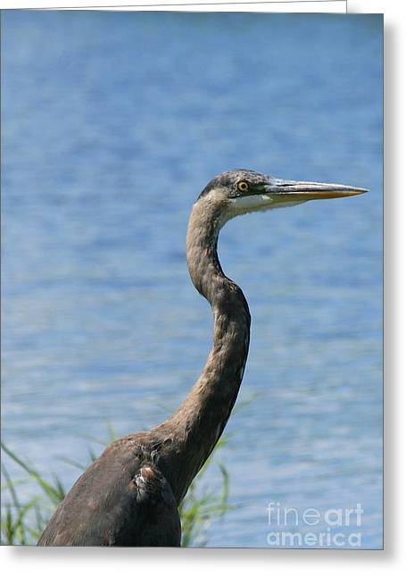 Bird Photography Greeting Cards - A Portrait of a Great Blue Heron  Greeting Card by Neal  Eslinger