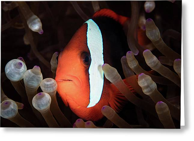 A Red And Black Anemonefish Swims Among Greeting Card by Ethan Daniels