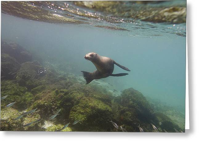 Sea Lions In The Ocean Greeting Cards - A Sea Lion Swimming Under The Waters Greeting Card by Keith Levit