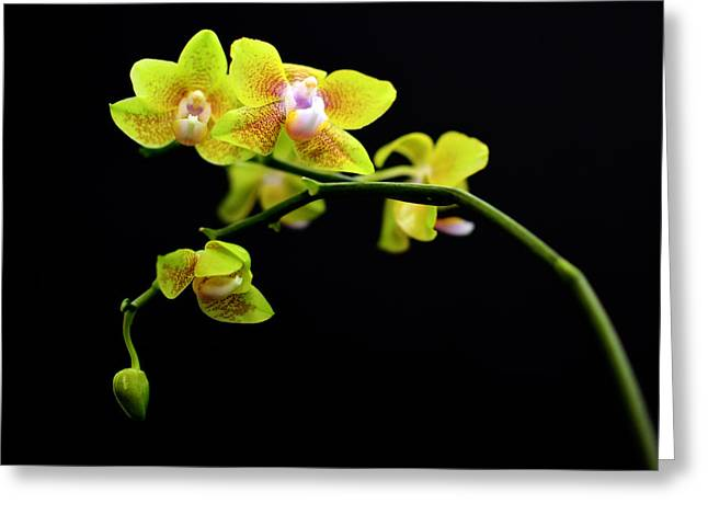 High Vulnerability Greeting Cards - A yellow orchid  Greeting Card by Toppart Sweden
