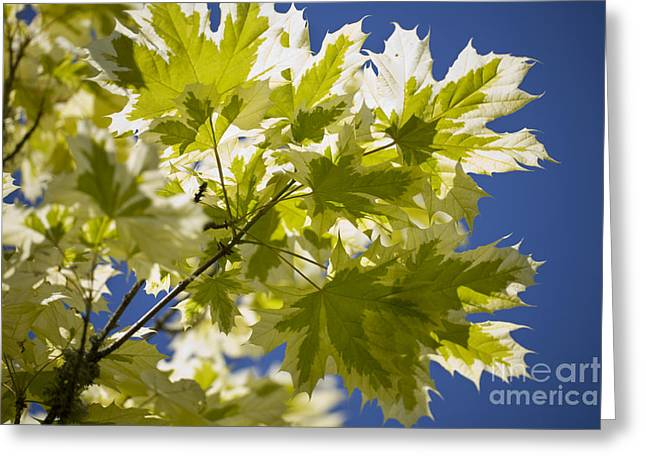 Dappled Light Greeting Cards - Acer Platanoides Drummondii Greeting Card by Dr. Keith Wheeler