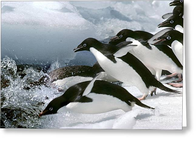 Recently Sold -  - Seabirds Greeting Cards - Adelie Penguins Greeting Card by Art Wolfe
