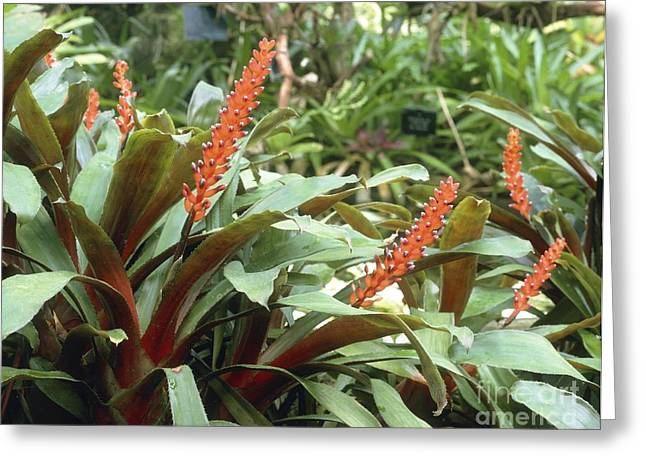 Aechmea Victoriana Var. Discolor Greeting Card by Vaughan Fleming