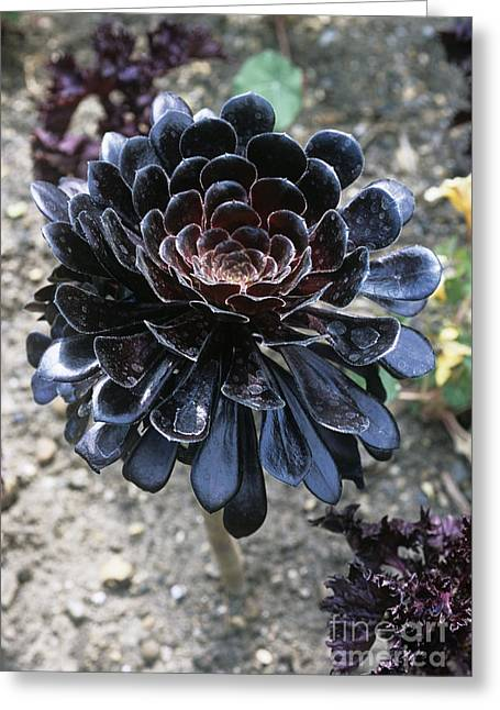Rosette Greeting Cards - Aeonium Zwartkop Greeting Card by Adrian Thomas