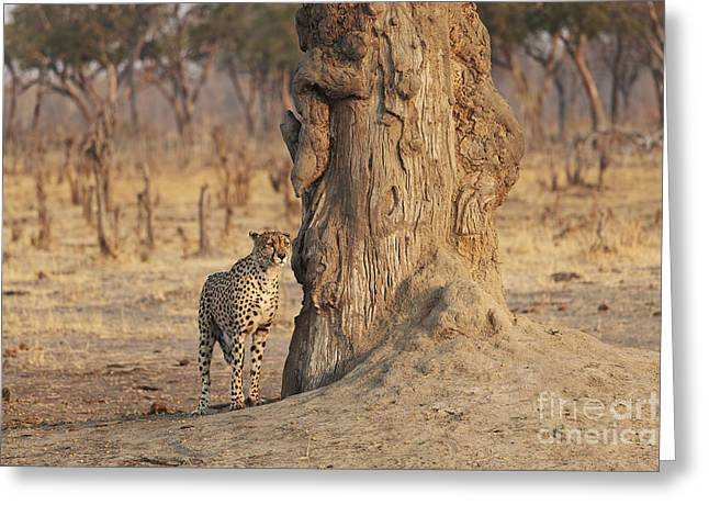 Zimbabwe Greeting Cards - Africa, Zimbabwe, Hwange National Park, On Safari, Jaguar By Tree Greeting Card by Christopher Colgate