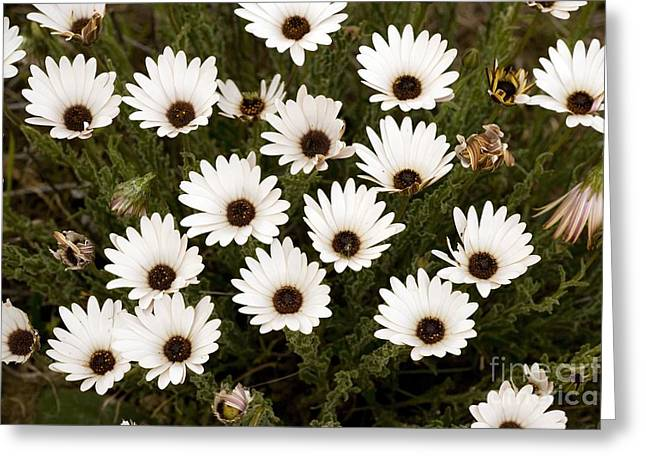 Northern Africa Greeting Cards - African Daisies Osteospermum Sp Greeting Card by Bob Gibbons